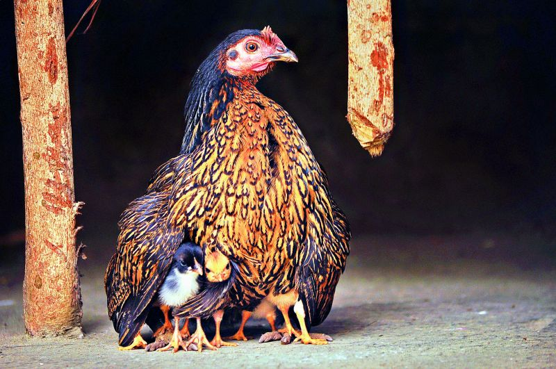 Tiny chicks under the wings of their Mother