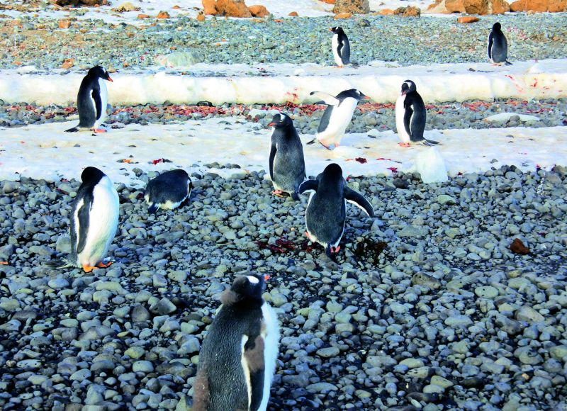 Penguin rookerie. The catastrophic molt