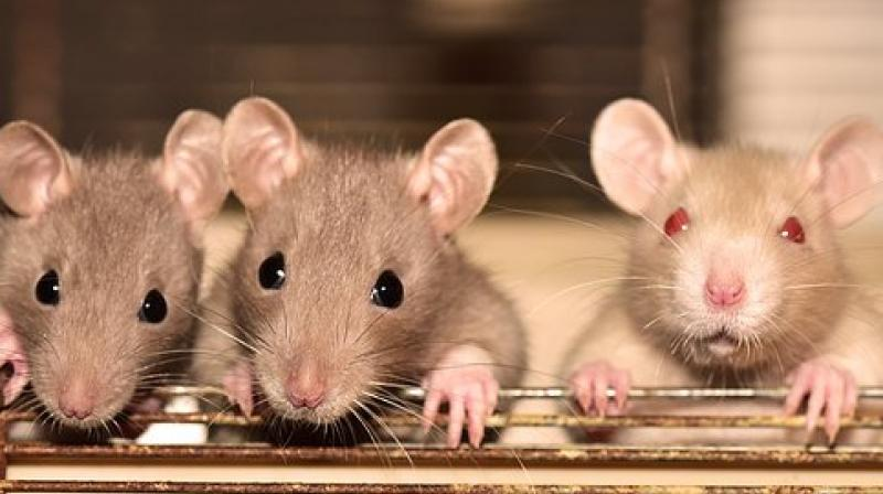 The rats attacked the woman's upholstery and engine wires. (Photo: Representational/ Pixabay)