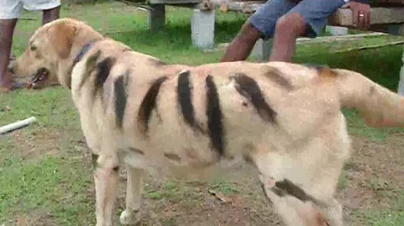 Srikanth Gowda, a farmer from Naluru village in Shivamogga district's Thirthahalli Taluk has dyed the fur of his dog to make him look like a tiger. (Photo: Twitter/ ANI)