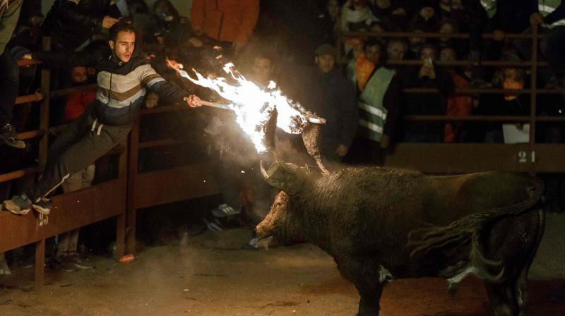 The Jubilee Bull of Medinaceli is a traditional festive event dating back to the 16th century in which a bull, covered with mud from the legs to the head to avoid burns, wears on its horns a metal frame (gamella) on which two large balls of fire burn, while the animal is tied to a pole with a rope. (Photo: AFP)
