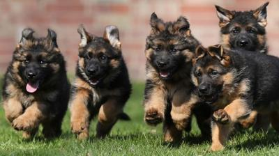 Sri Lankan Woman Gifts Five Pet Dogs To Army For Bomb Detection Training