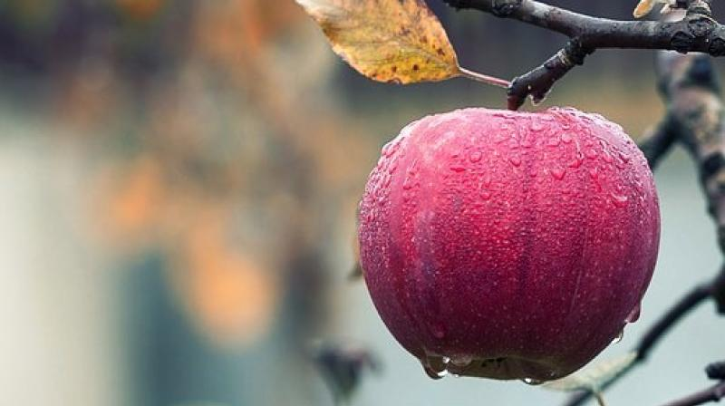 According to the findings, freshly harvested, organically managed apples harbour a significantly more diverse, more even and distinct bacterial community, compared to conventional ones. (Photo: Representational/Pixabay)