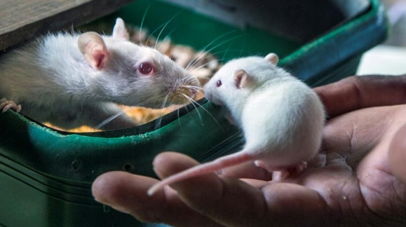 The researchers first tested methionine restriction in healthy mice to confirm it was having the desired effects on metabolism and then moved to testing it in mice with colorectal cancer and soft tissue tumours known as sarcomas. (Photo: AFP)