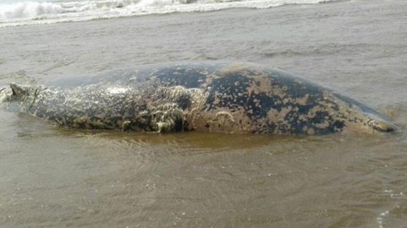 The 32-feet-long carcass of a whale was found washed ashore on a Puri beach in Odisha on Monday.