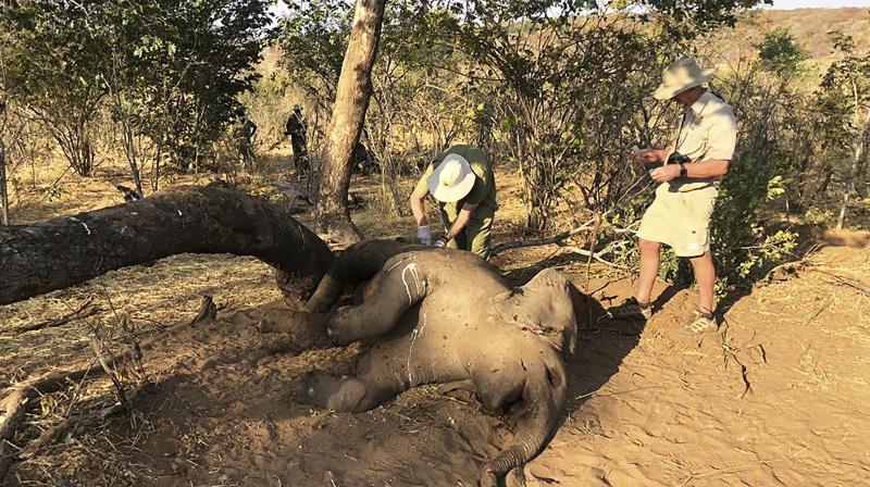 Wildlife vets take samples from dead elephants found in Hwange National park, Zimbabwe. (AP)
