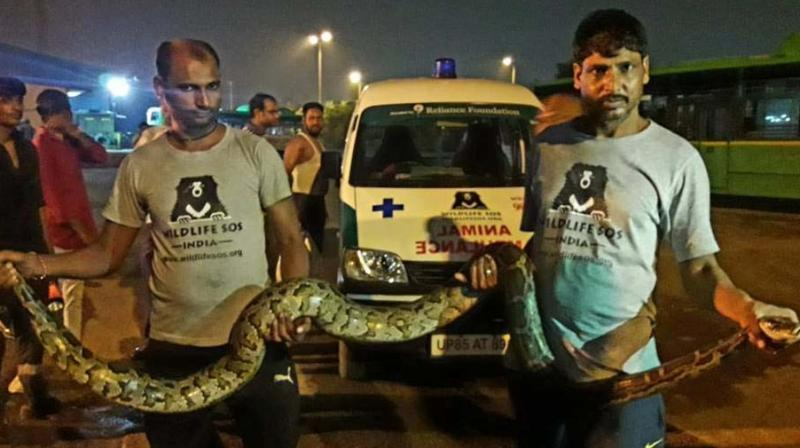 10-foot long python  rescued by Wildlife SOS from Raj Ghat.