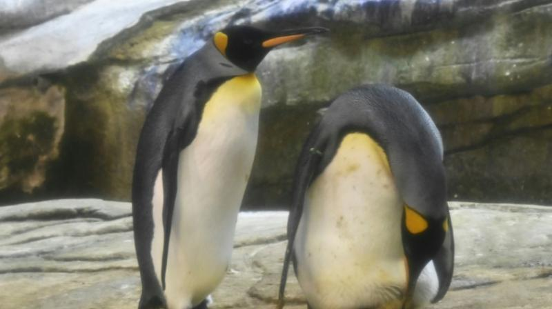 Same-sex love among penguins is nothing new, with homosexual behaviour among the species reported in zoos and in the wild. (Photo: AFP)