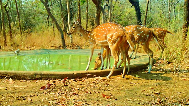 Deers drinking water at saucer pits in Nallamalla