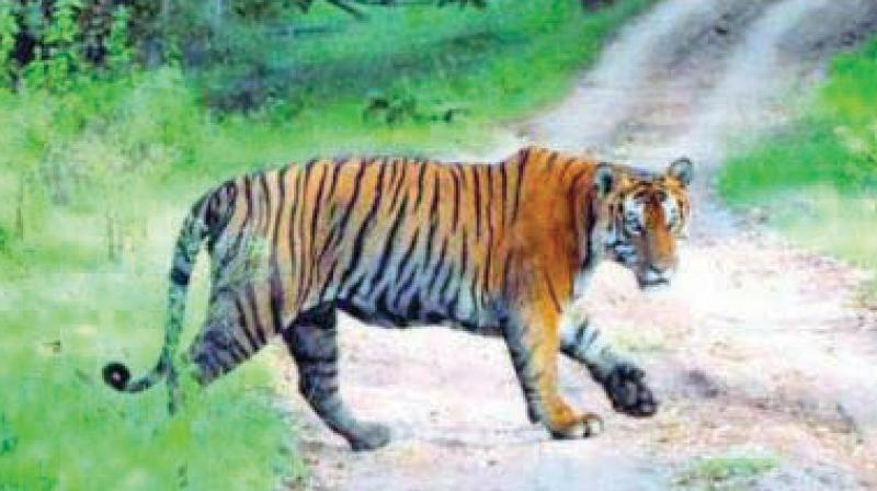 The tigress has killed three women from Chandrapur district, Nagpur in December 2016.