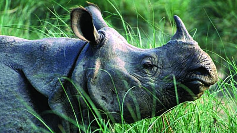 Breeders believe open trade is the only way to stop poachers slaughtering rhino. (File Photo)