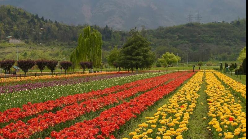Asia's largest tulips garden in Srinagar. (PTI photo)