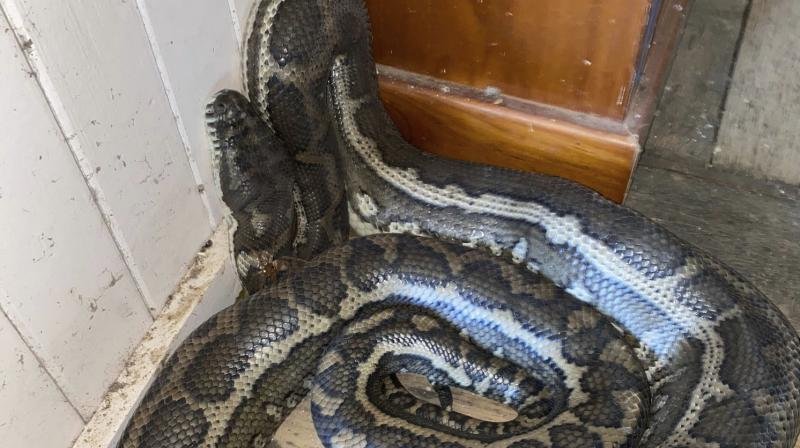 In this photo provided by Steven Brown, a snake is coiled on the floor of a home at Laceys Creek, Australia. (AP)