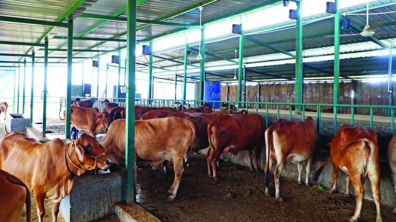 A cowshed at the House of Nanak farm, fitted with speakers that play jazz music to help increase the cows' milk production.