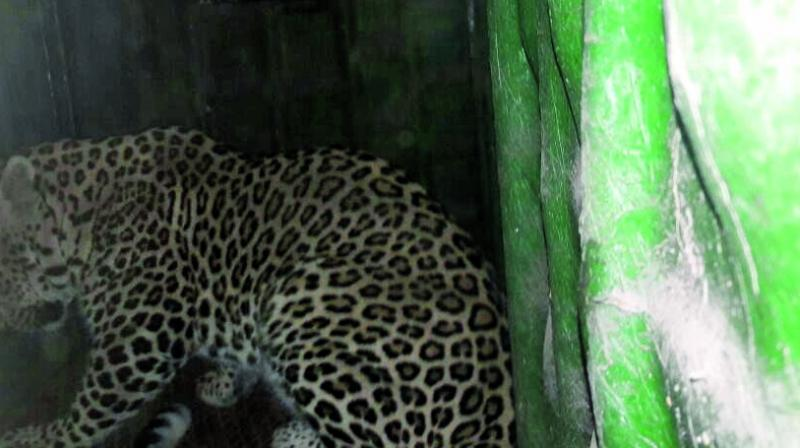 A leopard that was trapped at Aarey on Friday.