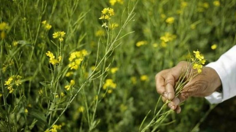 Ignoring the states that are saying they will not allow GMO mustard is a violation of the Constitution and the biosafety framework.(Representational image)
