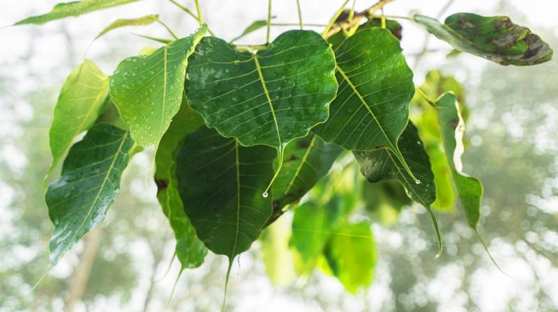 Peepal leaves. (Photo: Pixabay)