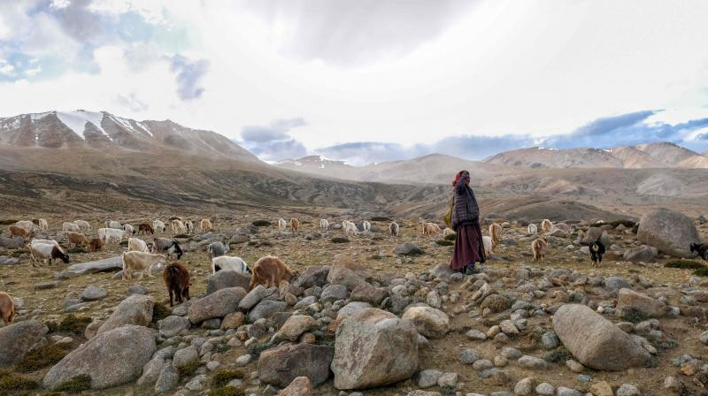 In this file photo taken on August 29, 2019 a Changpa nomad shepherd puts pashmina goats out to pasture near Korzok village in the Leh district of Ladakh. AP Photo