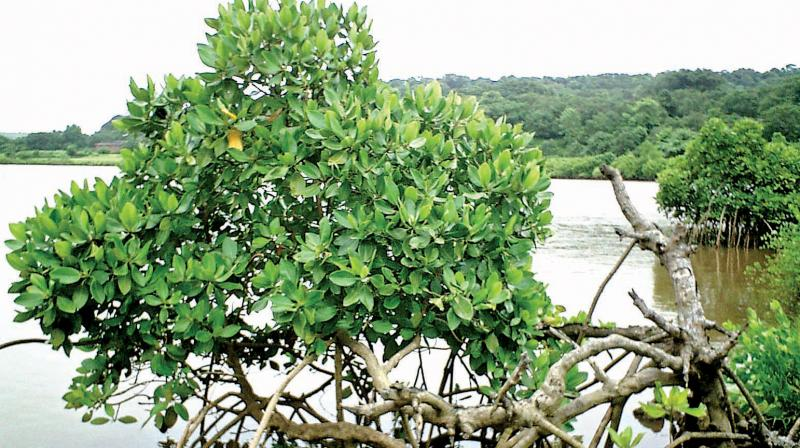 There are over 24 different species of mangroves in Maharashtra that the app documents. And 16 of these species are found in Vikhroli itself.