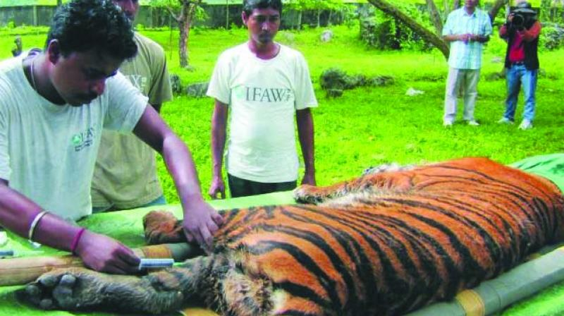 While Maharashtra recorded the highest number of leopard deaths at 94, it recorded the second-highest number of tiger deaths at 22.