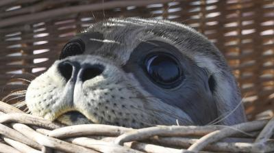Freya, the seal, looks out of a basket prior to being released, on a beach, on the North Sea island of Juist, Germany. (Photo: AP)