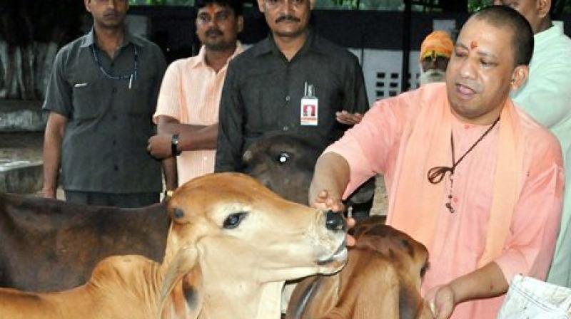 UP CM Yogi Adityanath with cows during the Guru Puranima festival at Gorakhnath temple in Gorakhpur. (Photo: PTI)