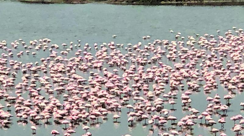 The Talawe wetland, which was under threat of commercial development for a golf course and residential complex, is now being frequented by flamingos.