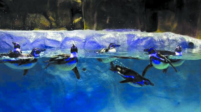 l The BMC will spend Rs 11.50 crore for next three years on penguins at Byculla zoo.