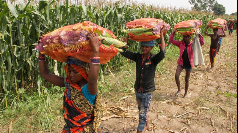 Farm workers carry maize corn at a village on the outskirts. India permits resumption of some industries in rural areas from April 20. (PTI Photo)