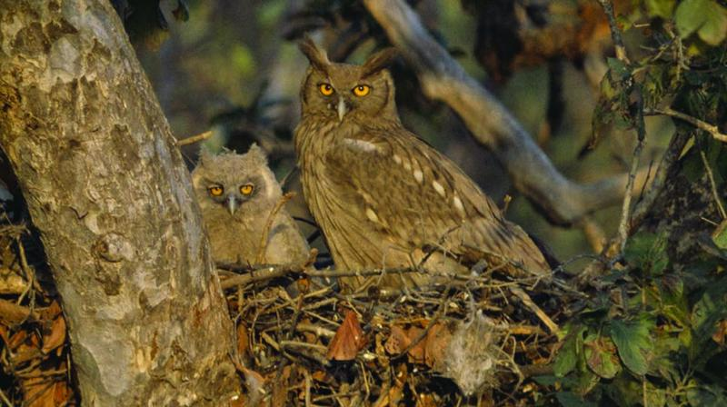 Nesting owls in Bharatpur