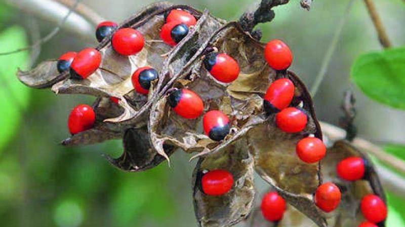 Crab's eye medicinal plant.