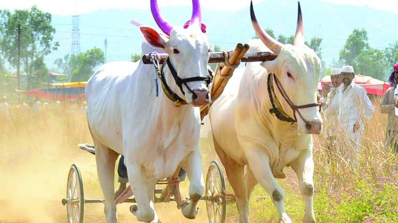 A Public Interest Litigation (PIL) was filed in the Bombay high court against the bullock cart races.