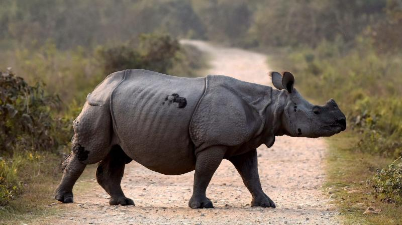 The park authorities who had succeeded in keeping the poachers away said that the rhino was killed in the jungle between Tunikati and Chanak anti-poaching camp on Thursday night.