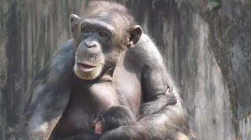 A file photo of a chimpanzee and her young one in Nandankanan Zoo