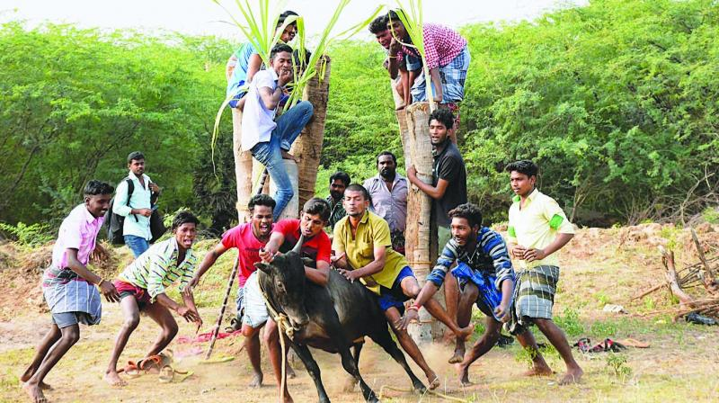 A group of people participate in Jallikattu at Karisalkulam village in Madurai on Friday despite ban on such events. (Photo: PTI)