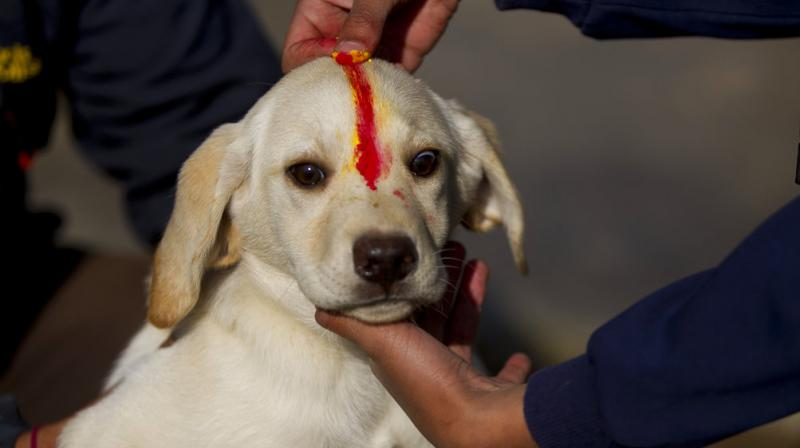 Dogs are worshipped to acknowledge their role in providing security during the second day of Tihar festival. (Photos: AP)