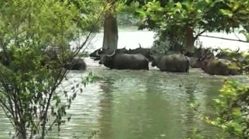 Pobitora Wildlife Sanctuary in Assam. (Photo: ANI)