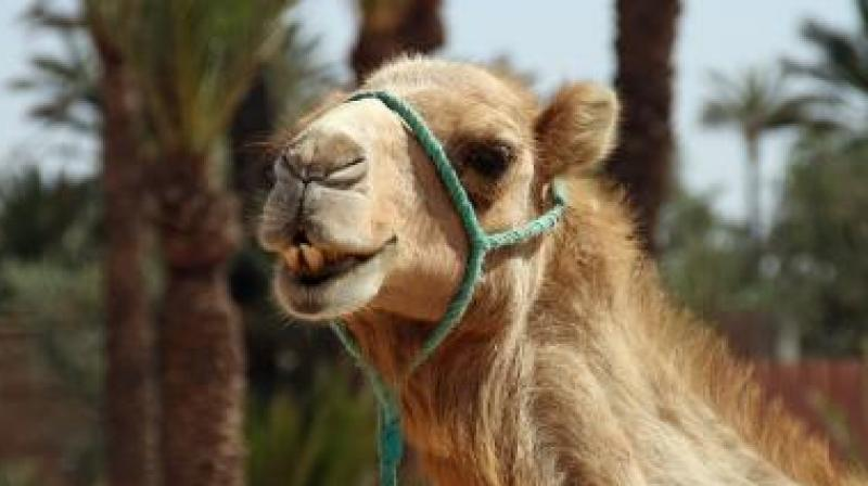 The planned killing of the camels comes at a time the country is ravaged by wildfires since November. (Photo: Representational)
