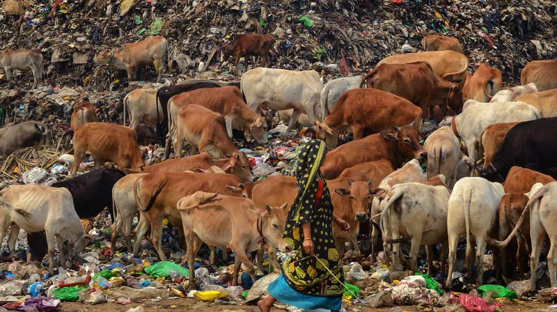 Cows are seen at a garbage dump that has been made out of bounds for rag pickers by the Guwahati district administration in the wake of the coronavirus pandemic. (PTI)