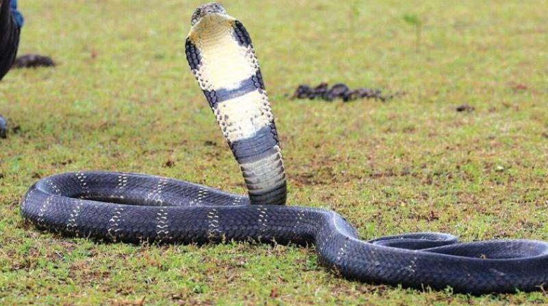 The snake which was subesequently rescued is currently under observation and will be released back into its natural habitat. (Representational Image)