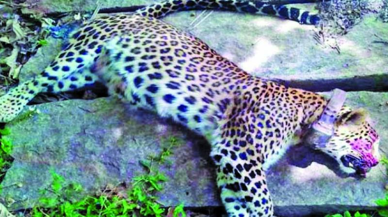 11 leopards were killed by poachers in state this year.