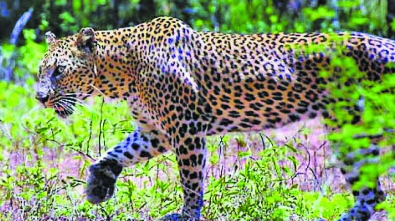 At least seven leopards have been captured in Aarey Milk Colony in the last three years, the forest department has said in a RTI query.
