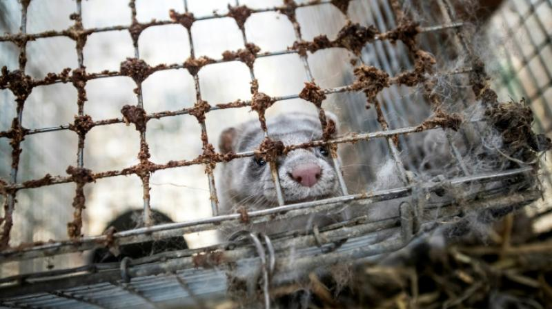 The Norwegian parliament is due this month to adopt new legislation immediately banning any new fur farms and requiring existing ones to be dismantled by February 1, 2025. (Photo: AFP)