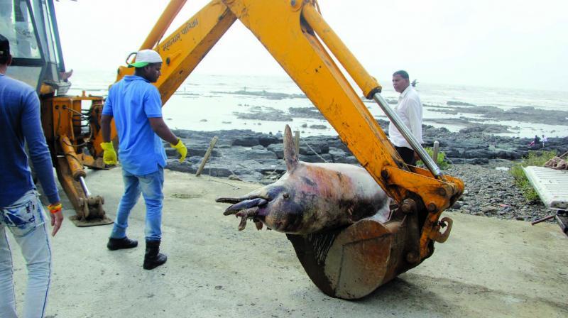 The carcass of a humpback dolphin washed ashore at Bandstand in Bandra. (Photo:Mrugesh Bandiwadekar)