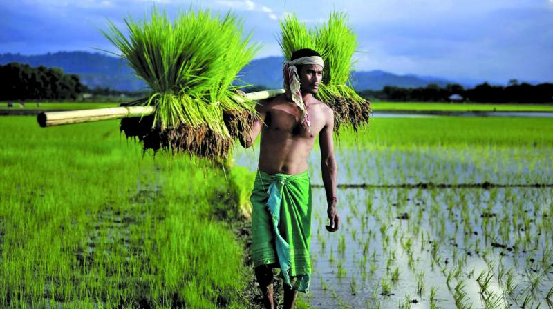 A farmer carries a paddy for transplantation on the outskirts of Guwahati. (Photo: AP)