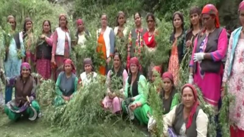 The group is conducting awareness campaigns across the village and asking women to uproot cannabis plants. (Photo: ANI)