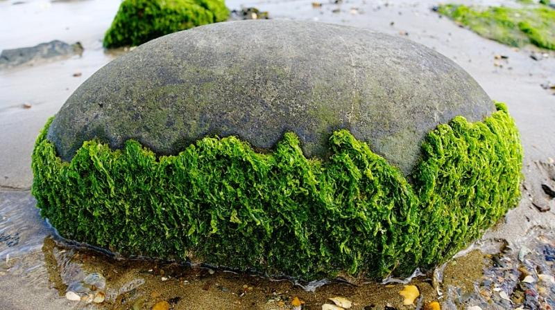 The problem with using algae for biomass has always been the amount of energy it takes to pull the lipids or biocrude from the watery plants. (Photo: Representational/Pixabay)