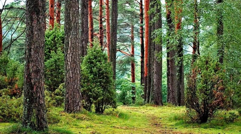 While this initial soil warming has benefitted Dahurian larch, further permafrost thaw could likely decrease tree growth and even cause the forest to decay, according to the authors. (Photo: Representational/Pexels)
