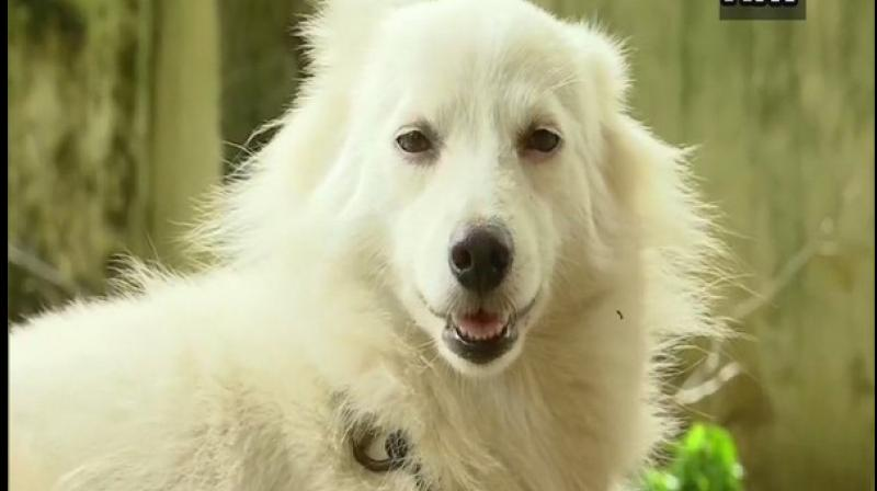 The white Pomeranian dog, about three years old, was found abandoned outside the World Market in Chackai, Thiruvananthapuram. (Photo: ANI)