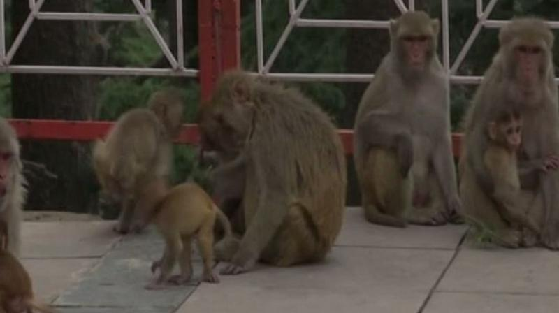 Monkey menace in Shimla has reached a tipping point, with at least ten incidents of monkey bites reported daily in the capital city. (Photo: Representational Image/ANI)